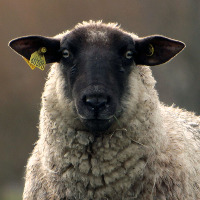 User image: Sheep